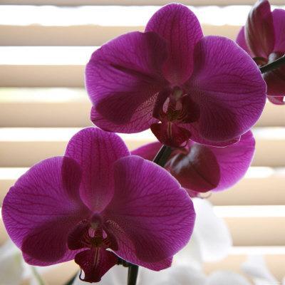 https://imgc.artprintimages.com/img/print/purple-orchids-iii_u-l-p23ful0.jpg?p=0