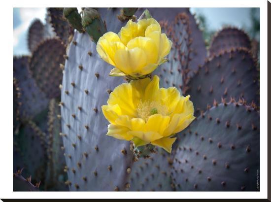 Purple Prickly Pear Cactus Blossoms #2-Murray Bolesta-Stretched Canvas Print