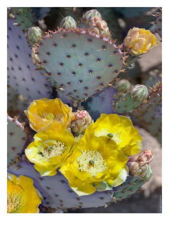 Purple Prickly Pear Cactus Blossoms-Murray Bolesta-Art Print