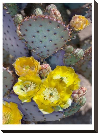 Purple Prickly Pear Cactus Blossoms-Murray Bolesta-Stretched Canvas Print