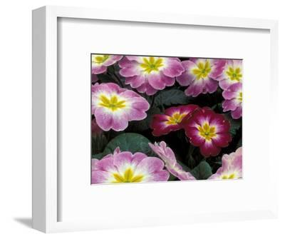 Purple Primrose, Washington, USA