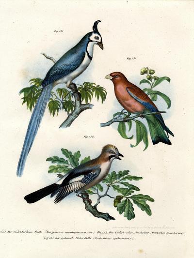 Purple Roller, 1864--Giclee Print