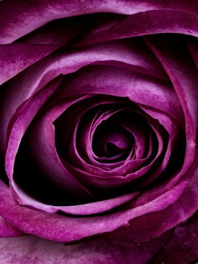 Purple Rose Of Love Valentine-Wonderful Dream-Art Print