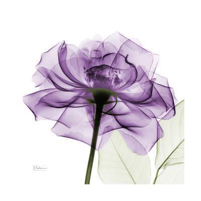 https://imgc.artprintimages.com/img/print/purple-rose_u-l-pyjs2p0.jpg?p=0