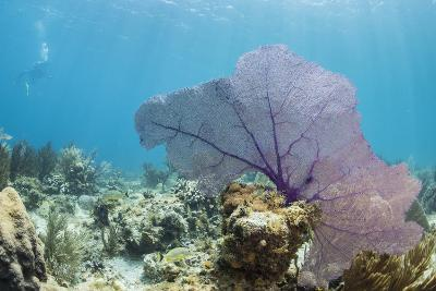 Purple Sea Fan Soft Coral , Clear Blue Waters Off of the Isle of Youth, Cuba-James White-Photographic Print