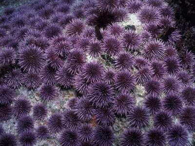 Purple Sea Urchin (Strongylocentrotus Purpuratus), Pacific Coast of North America-Richard Herrmann-Photographic Print