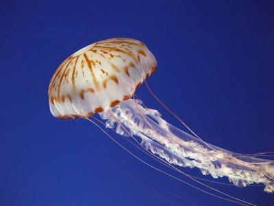 Purple Striped Jellyfish--Photographic Print
