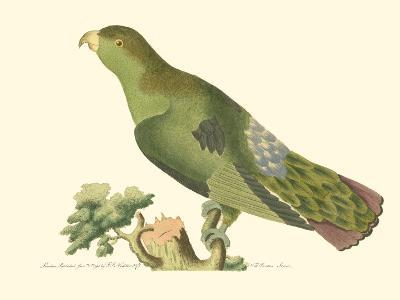 Purple-Tailed Parakeet--Art Print
