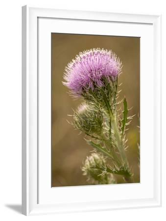 Purple Thistle Flower, Everglades National Park, Florida-Rob Sheppard-Framed Photographic Print