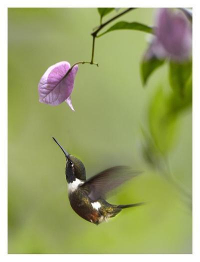 Purple-throated Woodstar hummingbird hovering near Bougainveillea flower, Ecuador-Tim Fitzharris-Art Print