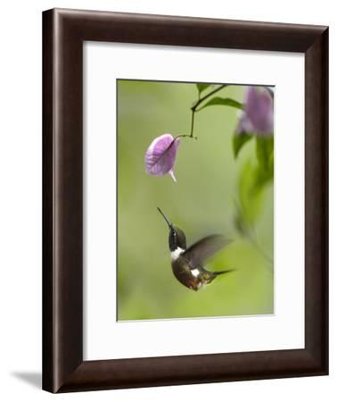 Purple-throated Woodstar hummingbird hovering near Bougainveillea flower, Ecuador-Tim Fitzharris-Framed Art Print
