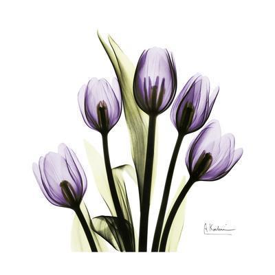 https://imgc.artprintimages.com/img/print/purple-tulip-square_u-l-pyjqim0.jpg?p=0