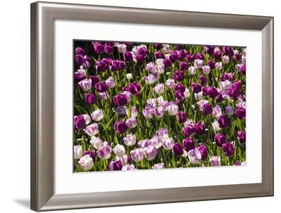 Purple Tulips in Bloom-Richard T. Nowitz-Framed Photographic Print
