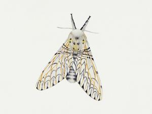 Puss Moth (Cerura Vinula), Notodontidae, Artwork by Rebecca Hardy