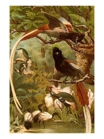 Pygmy Bird of Paradise-F^W^ Kuhnert-Art Print