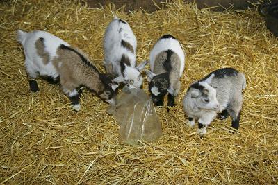 Pygmy Goat Kids Investigating a Polythene Bag--Photographic Print