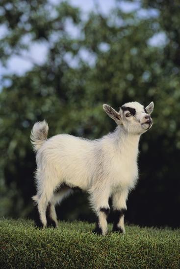 Pygmy Goat-DLILLC-Photographic Print