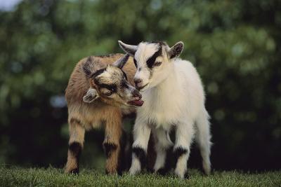 Pygmy Goats-DLILLC-Photographic Print