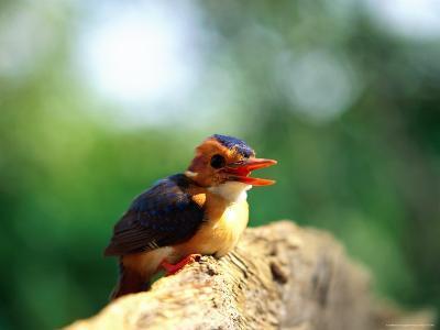 Pygmy Kingfisher-Beverly Joubert-Photographic Print