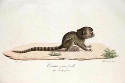 Pygmy Marmoset--Giclee Print