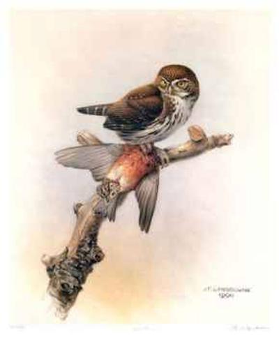 Pygmy Owl-James Fenwick Lansdowne-Limited Edition