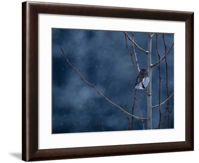 Pygmy Owl-Steven Gnam-Framed Photographic Print