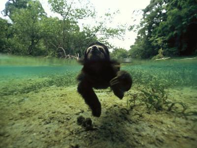 Pygmy Sloth Swimming in Coastal Panama Waters-Bill Hatcher-Photographic Print
