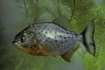 Pygocentrus Nattereri (Red-Bellied Piranha, Red Piranha)-Paul Starosta-Photographic Print