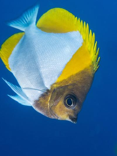 Pyramid Butterflyfish (Hemiaurichthys Polylepis), Queensland, Australia, Pacific-Louise Murray-Photographic Print