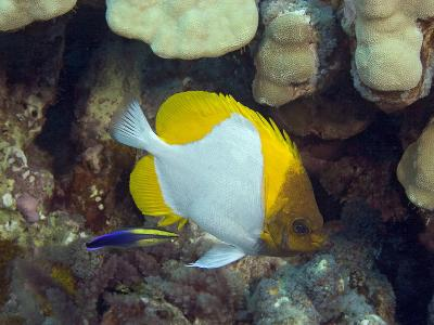 Pyramid Butterflyfish (Hemitaurichthys Polylepis) and an Endemic Hawaiian Cleaner Wrasse-David Fleetham-Photographic Print