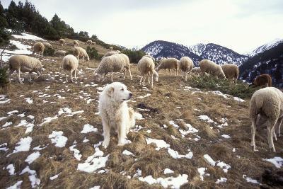 Pyrenean Mountain Dog Protecting Sheep--Photographic Print