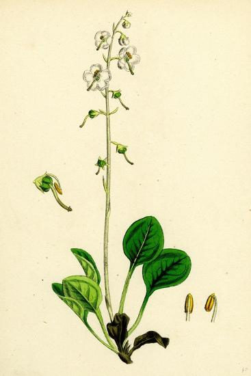 Pyrola Rotundifolia Var. Arenaria Round-Leaved Winter-Green Var. B--Giclee Print