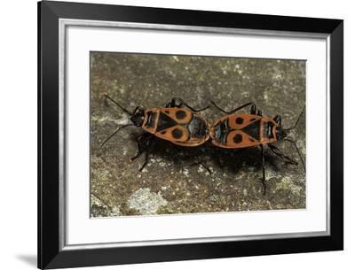 Pyrrhocoris Apterus (Firebug) Mating-Paul Starosta-Framed Photographic Print