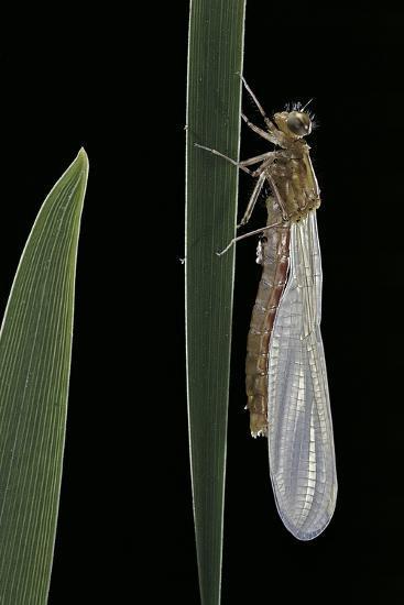 Pyrrhosoma Nymphula (Large Red Damselfly) - Emerging-Paul Starosta-Photographic Print