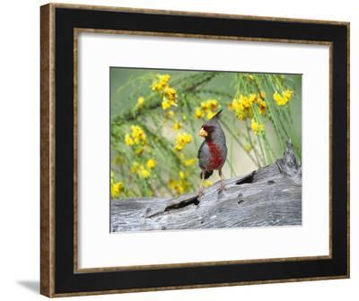 Pyrrhuloxia (Cardinalis Sinuatus) Perching on Log, Rio Grande Valley, Texas-Tom Vezo/Minden Pictures-Framed Photographic Print