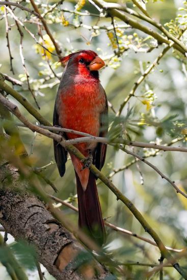 Pyrrhuloxia Desert Cardinal, Cardinalis Sinuatus, Arizona-Susan Degginger-Photographic Print