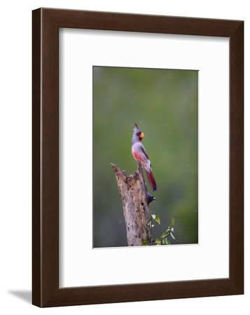 Pyrrhuloxia perched during rainfall.-Larry Ditto-Framed Photographic Print