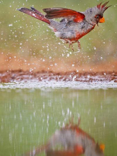 Pyrrhuloxia, Texas, USA-Larry Ditto-Photographic Print