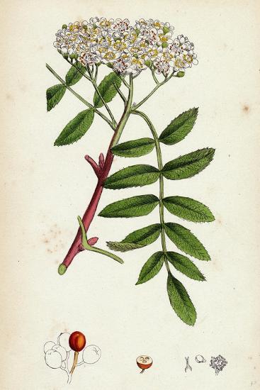 Pyrus Aucuparia Mountain-Ash--Giclee Print