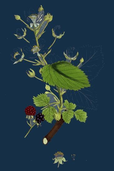 Pyrus Eu-Aria; Common White-Beam--Giclee Print
