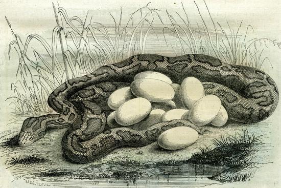 Python Paris Museum, France, 19th Century--Giclee Print