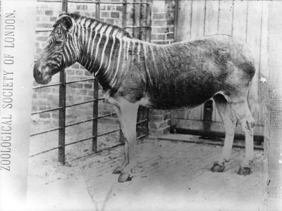 Quagga at Zsl London Zoo, Probably Summer 1870-Frederick York-Photographic Print