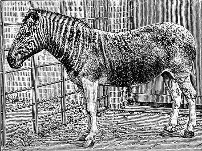 Quagga Mare in London Zoo, C1870-Frederick York-Giclee Print
