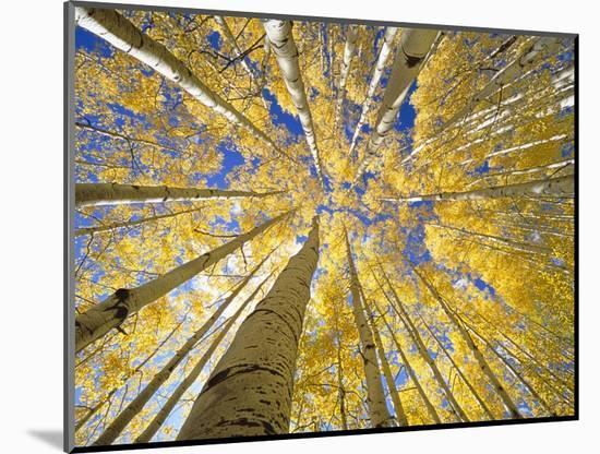 Quaking Aspen Grove in Fall, Colorado-John Eastcott & Yva Momatiuk-Mounted Photo
