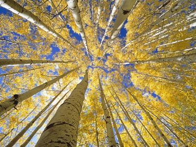 https://imgc.artprintimages.com/img/print/quaking-aspen-grove-in-fall-colorado_u-l-pzkqu10.jpg?p=0
