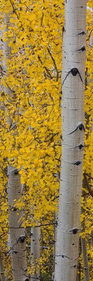 Quaking Aspen (Populus Tremuloides) Tree, Boulder Mountain, Dixie National Forest, Utah, USA--Photographic Print