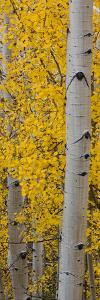 Quaking Aspen (Populus Tremuloides) Tree, Boulder Mountain, Dixie National Forest, Utah, USA
