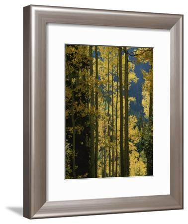 Quaking Aspen Trees Display Brilliant Fall Foliage Near Ouray-Marc Moritsch-Framed Photographic Print