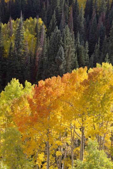 Quaking Aspen Trees, Populus Tremuloides, Glow Brightly Among Green Conifers in a Mountain Valley-Robbie George-Photographic Print