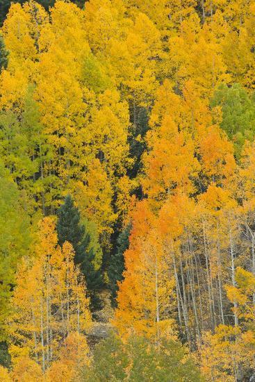 Quaking Aspens in a Fall Glow, Bald Mountain, New Mexico, USA-Maresa Pryor-Photographic Print